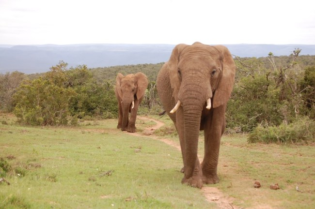 Elefantes en el camino