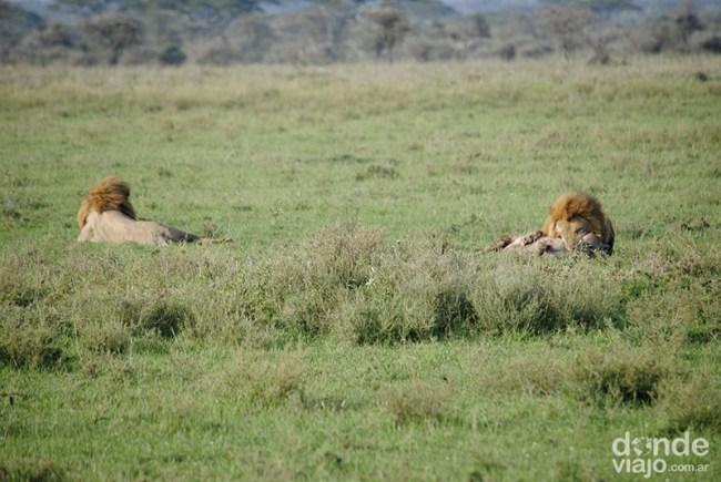 León cazando hiena