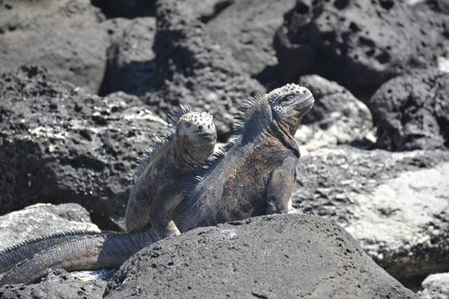 Iguanas de Galápagos