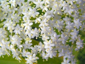 Fleurs de sureau - image gratuite