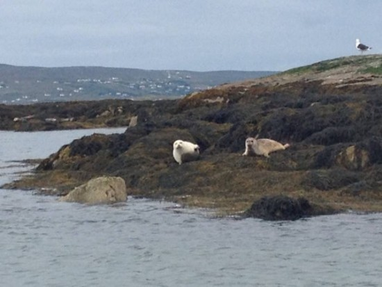Snowball the seal catching a few rays with his mate in Dungloe Bay yesterday.