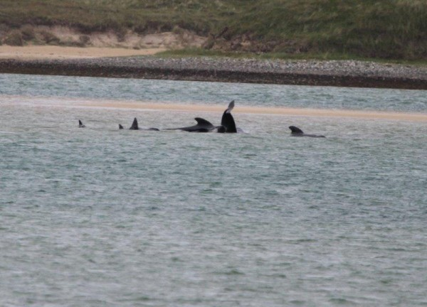 Some of the Whales have been re-floated to the water at Ballyness Bay. pic copyright nwnewspix