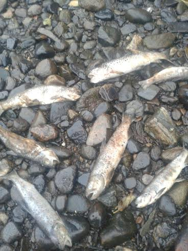 Dead fish in the Deele: Picture by Cllr Liam Doherty