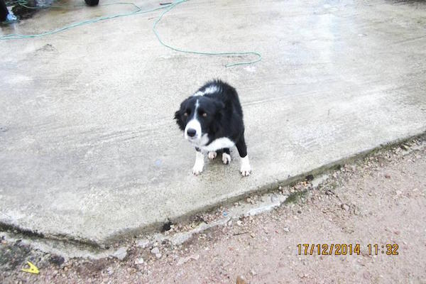 The Collie had to be put down