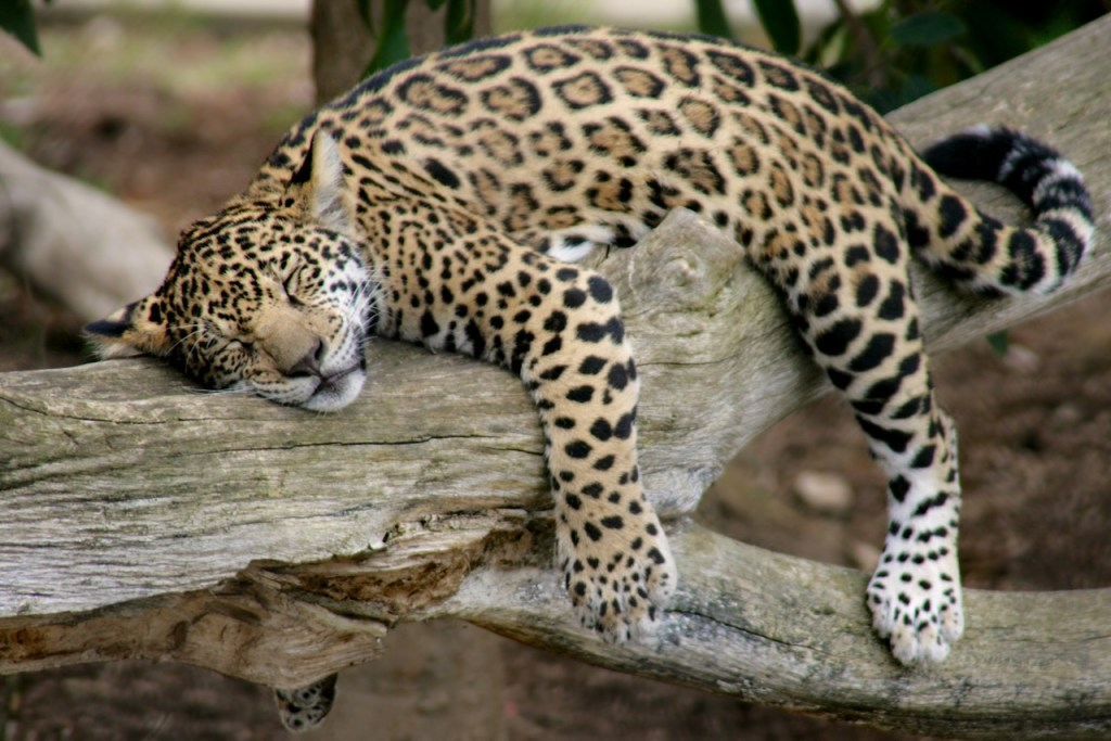 jaguar-cub-asleep