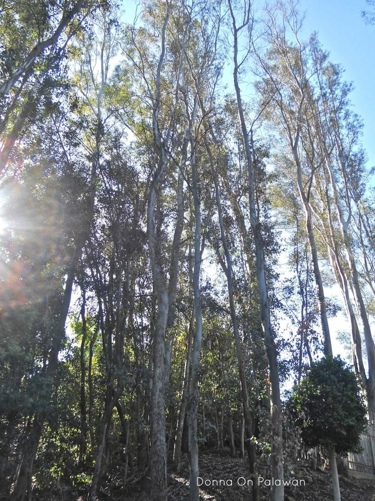 tall-eucalyptus
