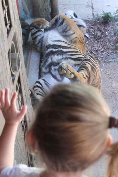 tiger-tummy-tiger-trail-safari-park