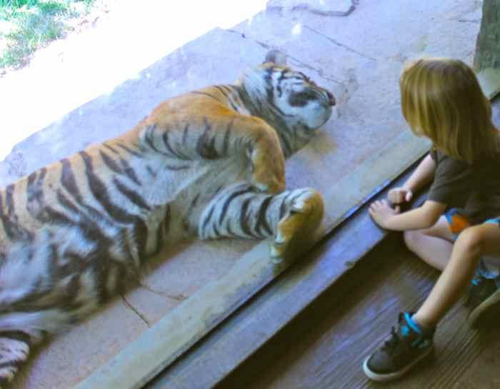 tiger-tummy