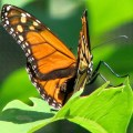 Monarch Butterfly (Danaus plexippus) Brushfoot Butterfly Family. Photo by Donna L. Long