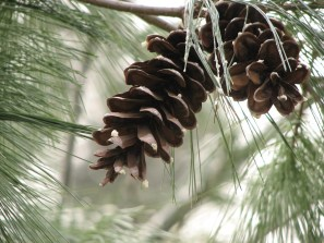 Pine cones and long, graceful pine needles