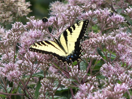 Tiger Swallowtail (Papilio glaucus) sipping nectar from Joe-Pye Weed. Swallowtail butterfly family