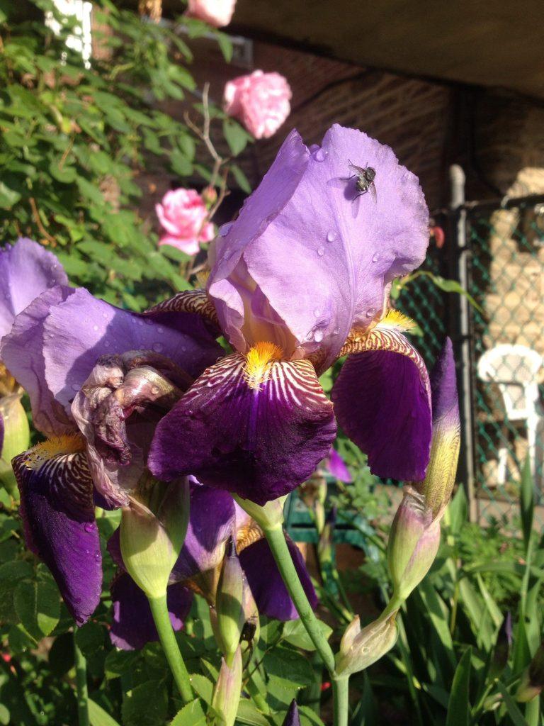 Open flower of Northern Blue Flag (Iris veriscolor)