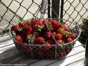A bountiful strawberry harvest from my cottage garden.