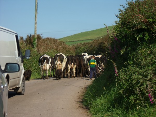 boy herding cattle across the road and blocking traffic