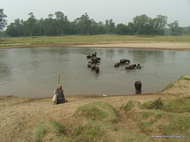 Herding Buffalo