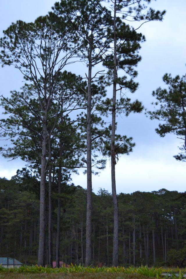 Pine trees, Bidoup Nui Ba, Dalat, Vietnam