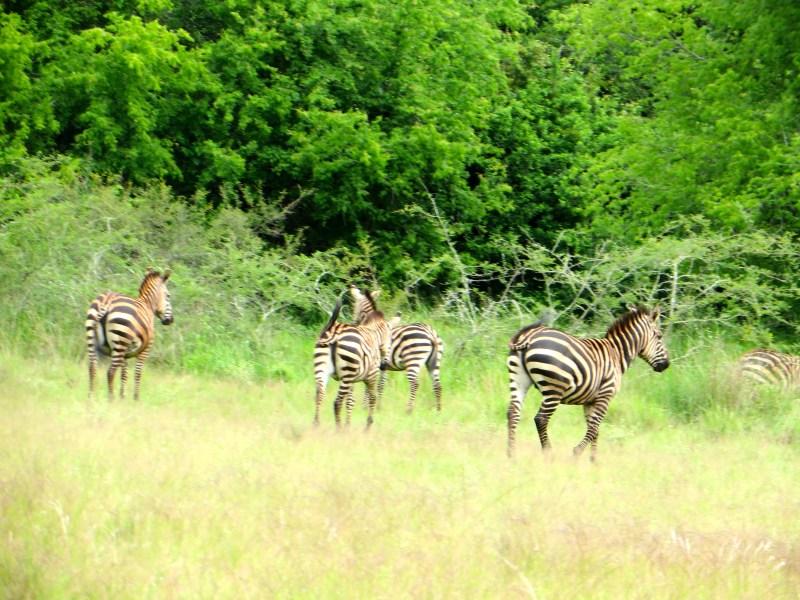 Akagera - zebras
