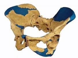 female erectus pelvis