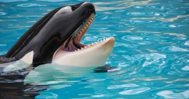 A kardszárnyú delfinek védelmére 1,1 milliárd dolláros tervet jelentettek be