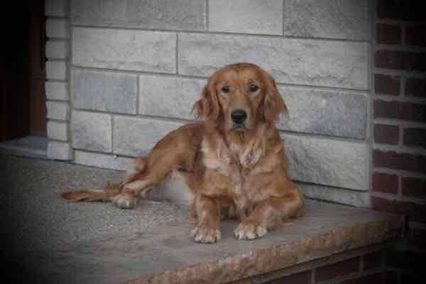 Irish Retriever Izzy, mom of Irish Goldendoodles