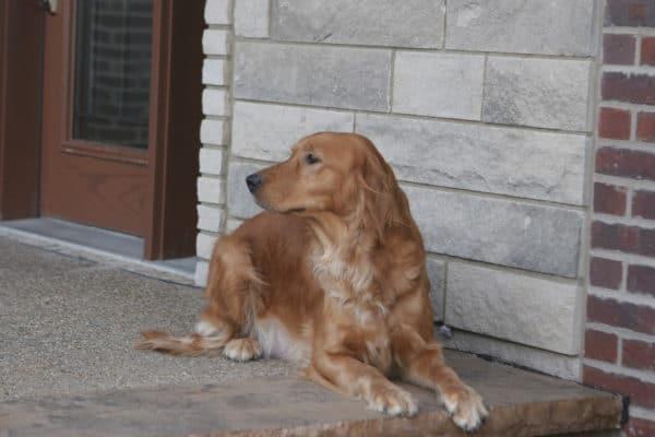 Irish Goldendoodle Mom