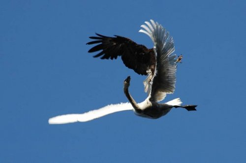 Атака на лебедя