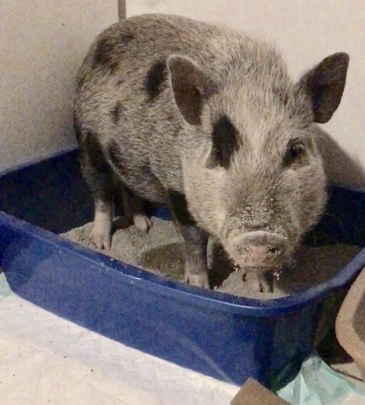 potty training vegan pig with litter box