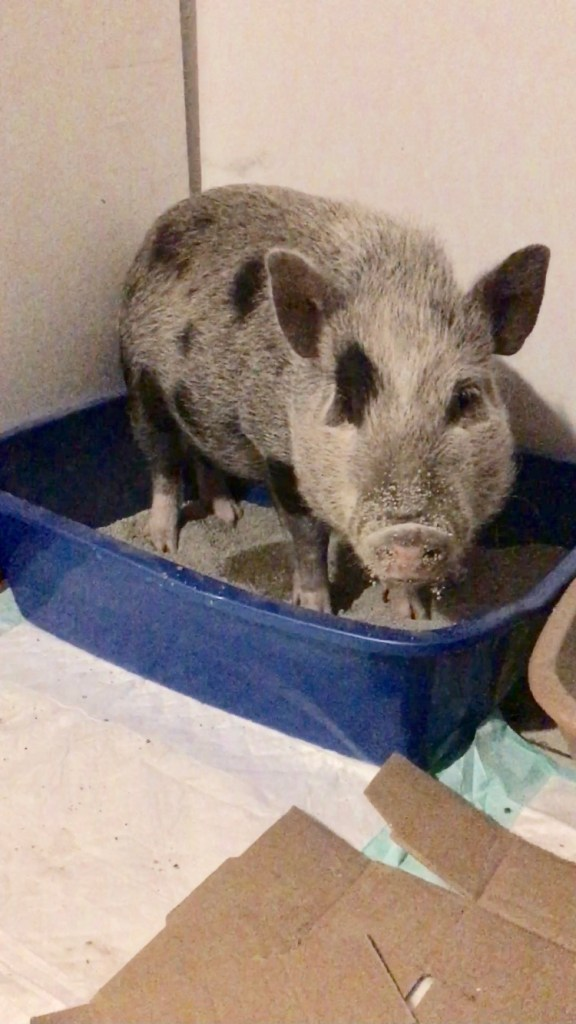 potty training vegan pig with litter box