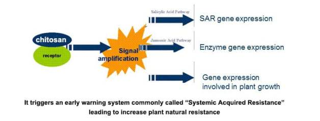 chitosan increase plant resistance