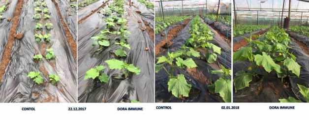 Harpin protein used on tomato in Turkey