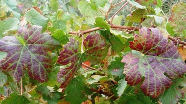 Grape leafroll disease