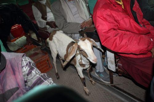 fellow passenger Billy the goat 0439