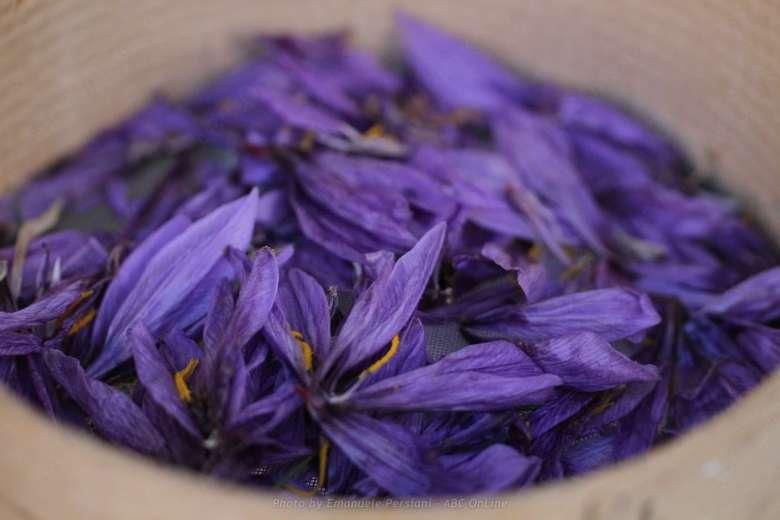 fiori di zafferano dopo la raccolta dello zafferano