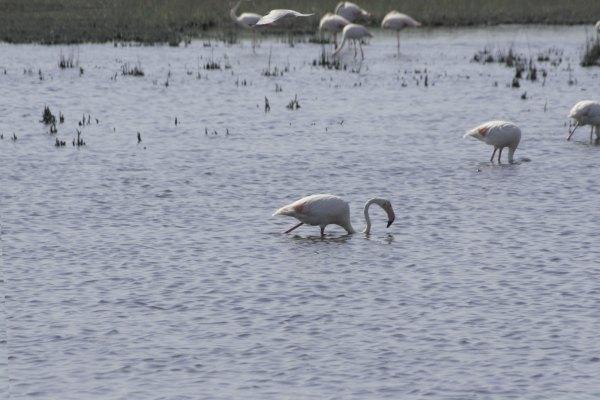 Flamingo's in de Camargue, Provence, Frankrijk