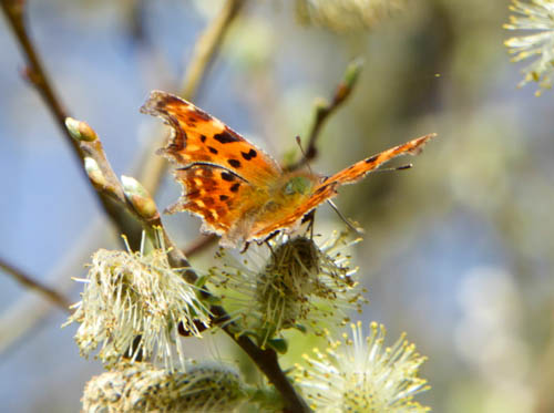 Open-winged Comma on a fluffy willow catkin
