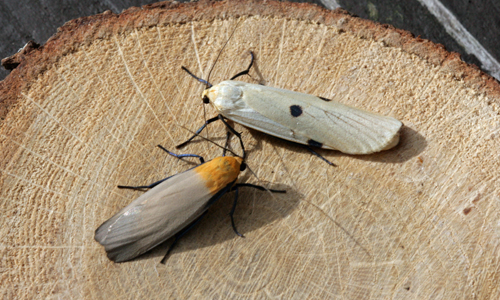 Four-spotted Footman moths