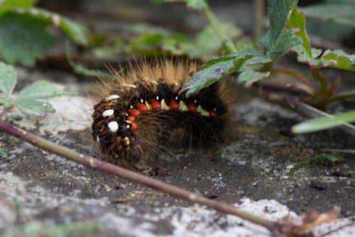 Knot Grass Caterpillar