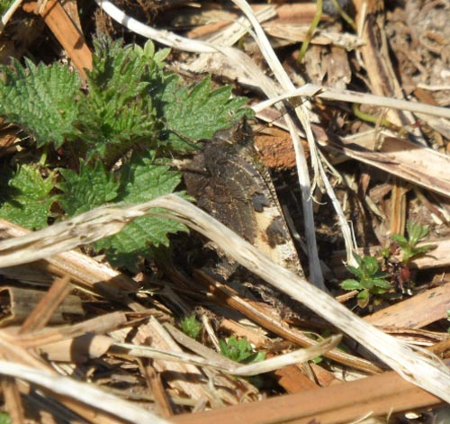 Small Tortoiseshell laying eggs