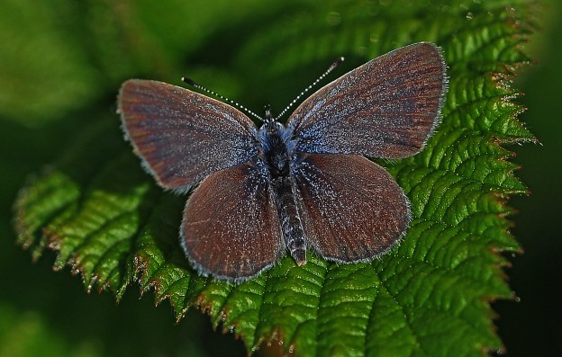 The very small Small Blue on a leaf