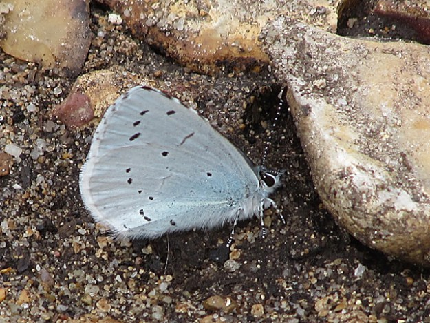 Side view of a Holly Blue, showing black dots on pale blue background