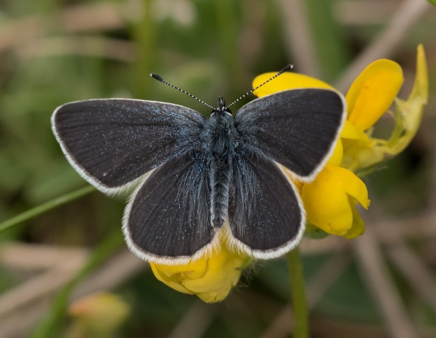 Small Blue butterfly on a yellow flower