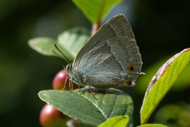 Purple Hairstreak. Photo: Brian Arnold