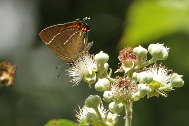White-letter Hairstreak. Photo: Richard Belding