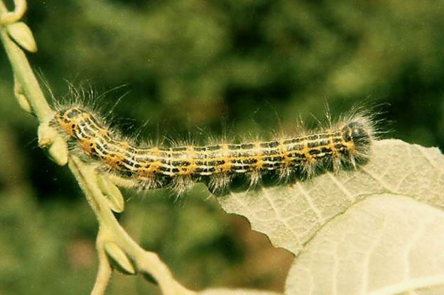 Buff Tip caterpillar. Photo: David Wareham