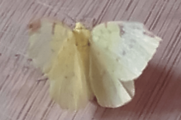 A pale yellow moth with brown markings around the edges of its wings