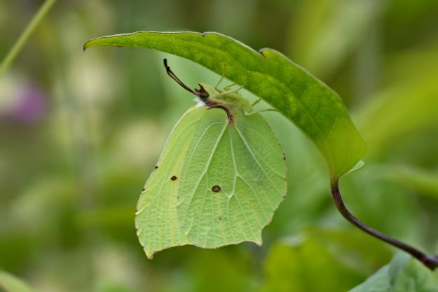 Greeny yellow butterfly well camouflaged under a leaf