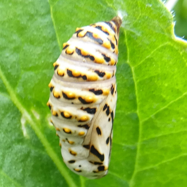Chunky crysalis, cream with yellow and black markings, held by silk onto a leaf