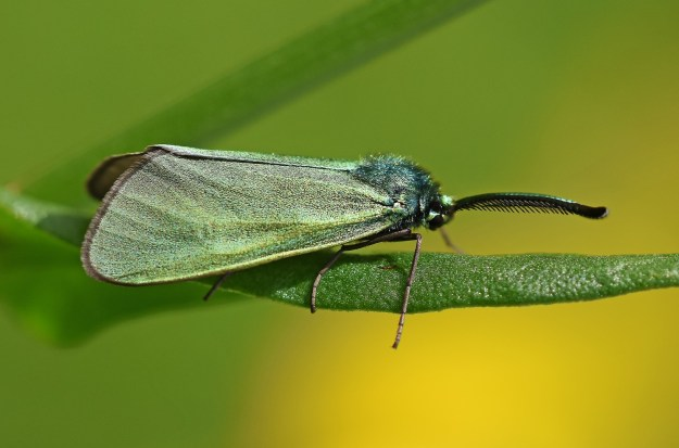 Irridescent green moth on a leaf