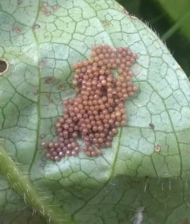 Large number of orange eggs underneath a leaf.