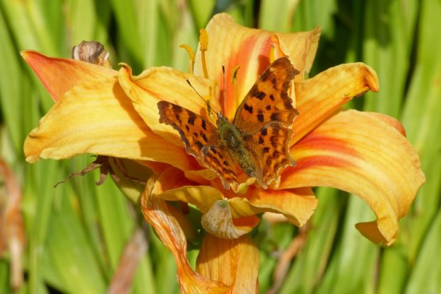 Comma butterfly sitting in the middle of an orange day lily flower